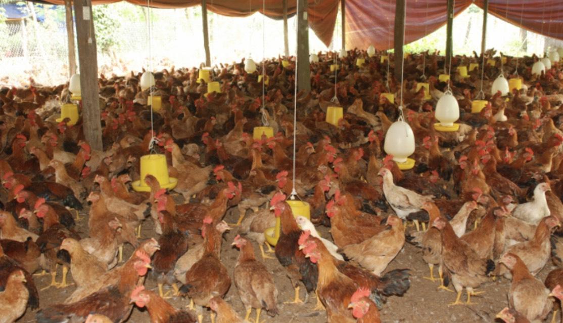 Khuôn viên trại gà khép kín của gia đình ông Khương được bố trí rất khoa học và bảo đảm an toàn chăn nuôi theo đúng quy trình mà các chuyên gia khuyến cáo.