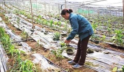 Hà Nội: Nghề trồng cây dược liệu đem lại thu nhập cao cho người dân