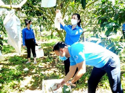 Sơn La: Tìm hướng đi mới kết nối tiêu thụ xoài cho nông dân trong mùa dịch