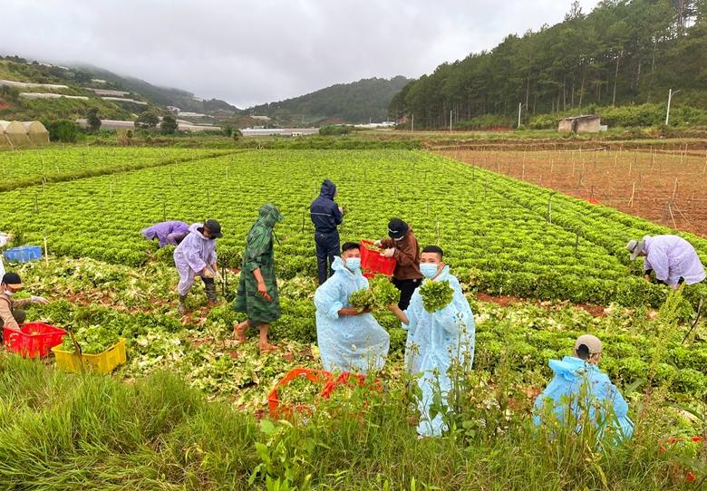 Các tình nguyện viên thu hoạch rau tại Lâm Đồng. (Ảnh: VKBIA)