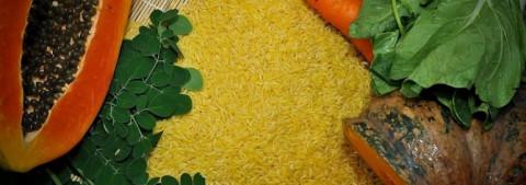 """""""Gạo Vàng"""" biến đổi gen lần đầu tiên được Philippines phê duyệt canh tác thương mại"""