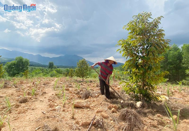 Từ nguồn vốn vay của NHCSXH, chị Đinh Thị Ba ở xã Long Sơn, huyện Minh Long đã đầu tư, nhân rộng mô hình trồng cây ăn quả
