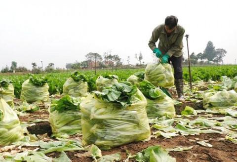 Những vựa rau lâu năm tại Hà Nội duy trì sản xuất trong đại dịch