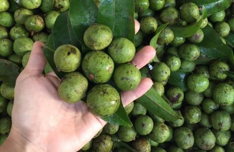 Việt Nam lần đầu tiên xuất khẩu quả sấu đông lạnh sang thị trường Úc
