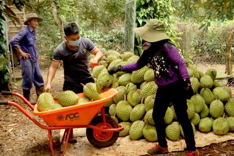 Nông dân Daklak thu hoạch sầu riêng