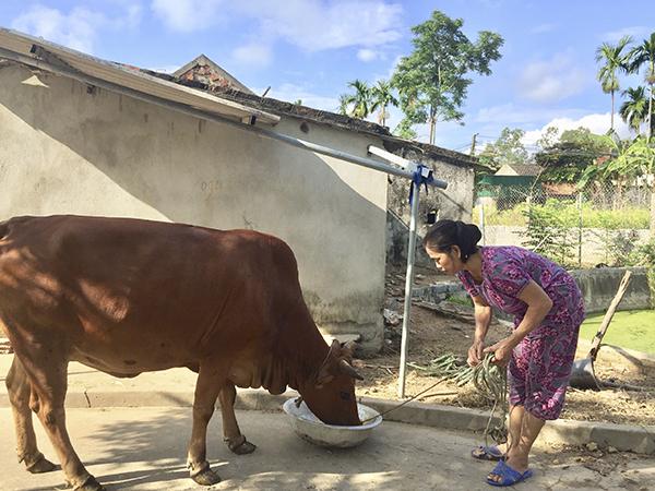 Chị Trần Thị Bưởi ở xóm Thanh Đầm, xã Hùng Tiến vay vốn chính sách để chăn nuôi bò