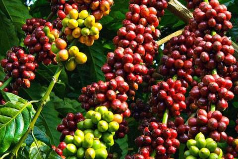 Hôm nay ngày 6/8 giá cà phê giảm nhẹ