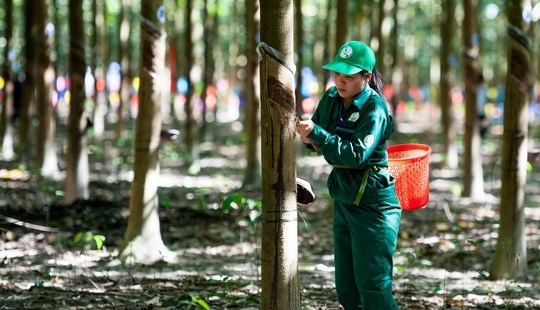 Vì sao lãi ròng của Tập đoàn Cao su Việt Nam tụt 86 tỷ đồng sau soát xét?