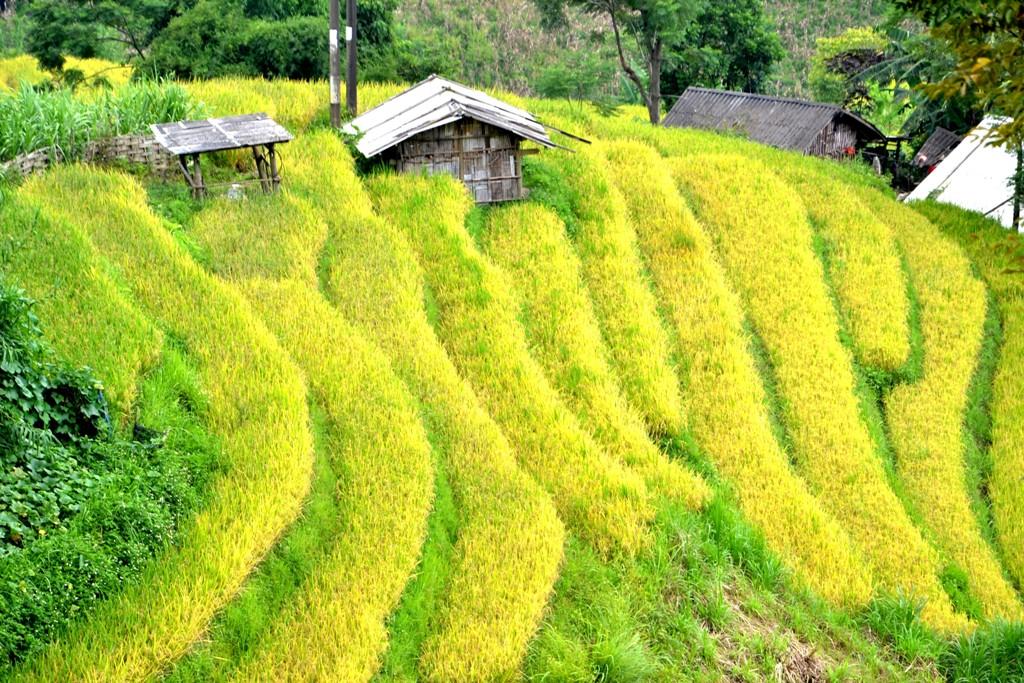 Bao quanh những ngôi nhà người H'Mông, chủ nhân ruộng bậc thang kỹ vĩ.