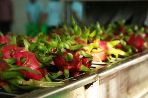 Trung Quốc nhập khẩu thanh long chủ yếu từ Việt Nam với lượng chiếm 99,99%