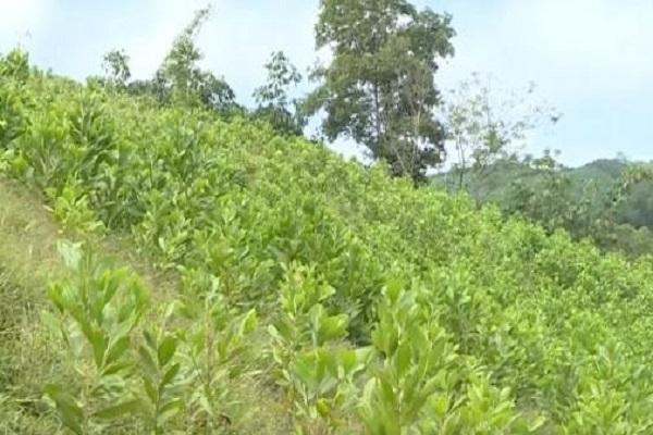 Một diện tích rừng trồng tại huyện Như Thanh