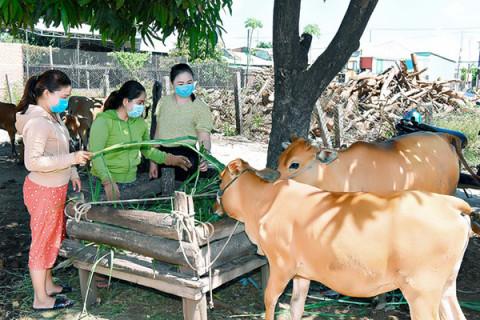 Vay vốn ưu đãi nuôi bò, nông dân nghèo vượt khó