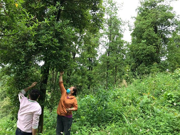 Nông dân huyện Ngân Sơn vay vốn chính sách trồng hồi, thu nhập 70 triệu đồng/năm