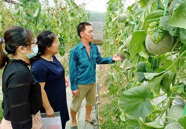 Mô hình kinh tế trồng dưa lưới của anh Nguyễn Trọng Hiền