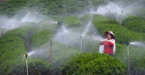 Việt Nam dẫn đầu xuất khẩu trà sang Đài Loan, hướng tới thị trường cao cấp