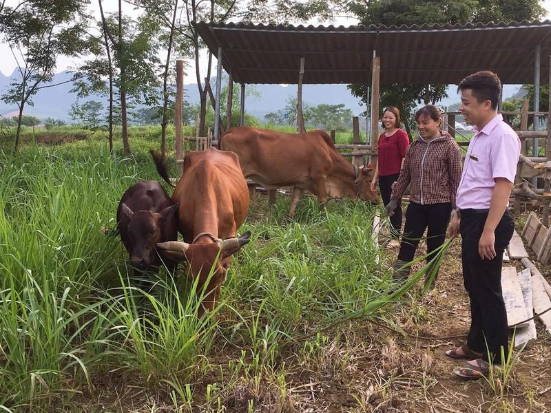 Chị Nguyễn Thị Ly ở thị trấn Chi Nê, huyện Lạc Thủy vay vốn chính sách nuôi bò