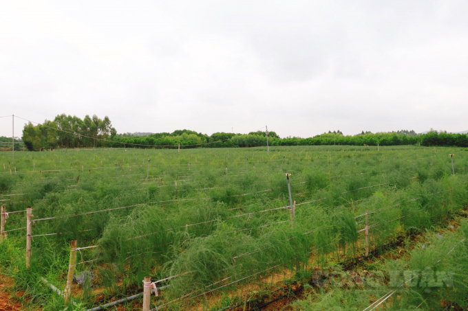 Măng Tây của HTX dịch vụ nông nghiệp miên Bắc, huyện Cẩm Khê (Phú Thọ)
