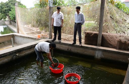 Kinh doanh cá giống các lọi tại huyện Cẩm Khê (Phú Thọ)