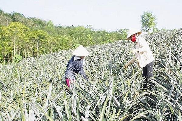 Người dân say sưa trên cánh đồng dứa, thay đổi cơ cấu nông nghiệp