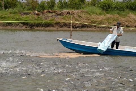 Ngành cá tra đang phải đối diện với nguy cơ thiếu nguyên liệu kéo dài