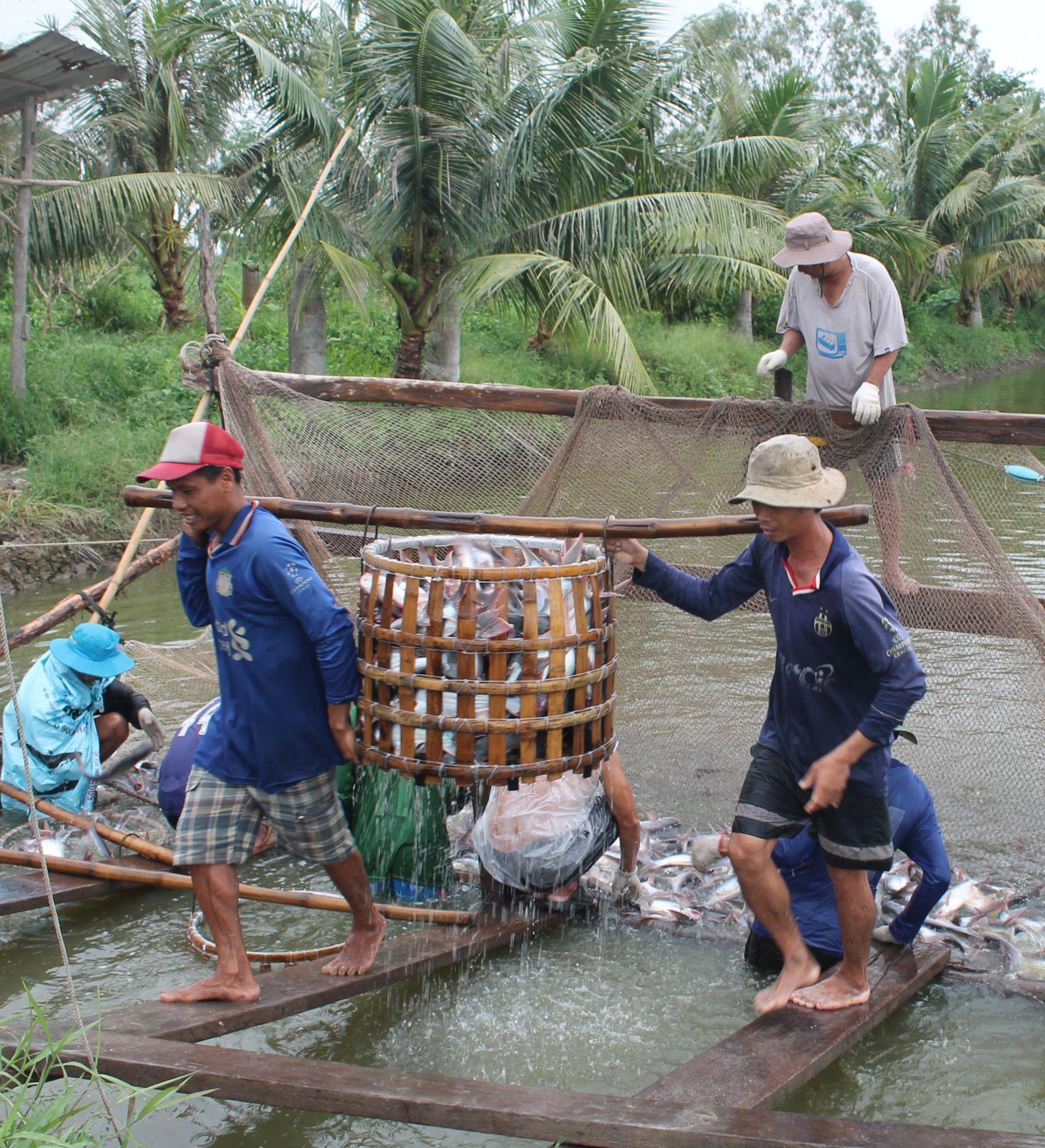 Thu hoạch cá tra ở quận Ô Môn, TP Cần Thơ, trước khi dịch COVID-19 bùng phát. Ảnh: Khánh Trung/ Báo Cần Thơ.