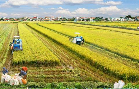 Giá gạo Việt Nam tăng tuần thứ 5 liên tiếp