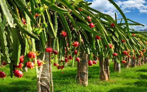 Bình Thuận: Tăng cường quản lý Mã số cơ sở đóng gói - Vùng trồng Thanh long