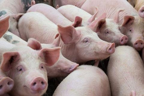 Giá lợn hơi tăng trở lại, người chăn nuôi vẫn thận trọng tái đàn