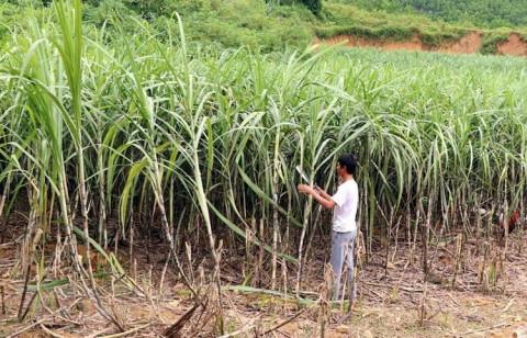 Liên kết sản xuất mía đường: Minh bạch là trên hết