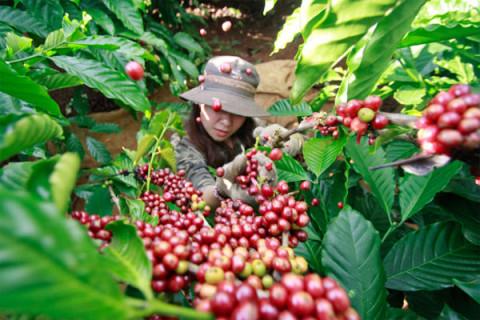 Đã có Bộ quy tắc tham chiếu về cà phê bền vững