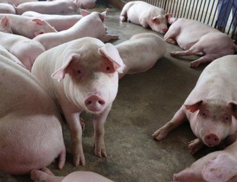 Hà Tĩnh: Dịch tả lợn châu Phi tái bùng phát